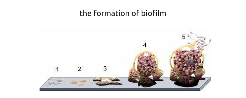 The formation of biofilm